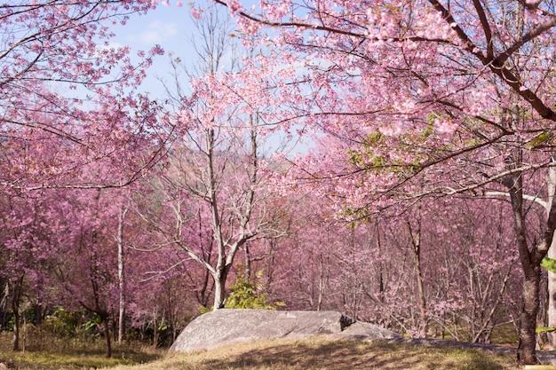 Fleurs de cerisier sauvages de l'himalaya au printemps