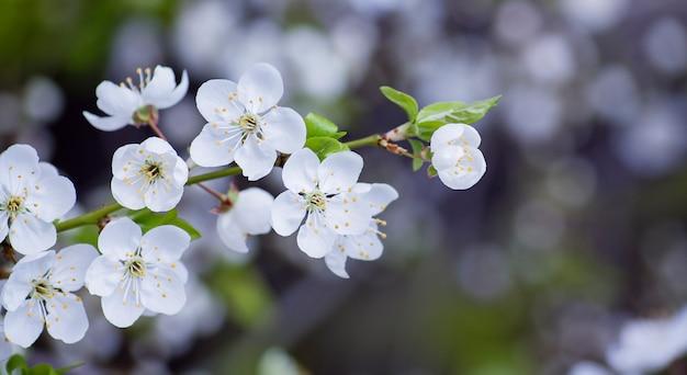 Fleurs de cerisier se bouchent. fleur de printemps avec bokeh dans le jardin. bannière