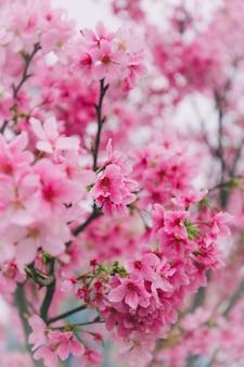 Fleurs de cerisier à taiwan