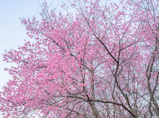 Fleurs de cerisier en thaïlande