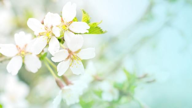 Fleurs de cerisiers en fleurs dans la douce lumière rose, sacura