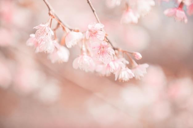 Fleurs de cerisiers en fleurs, fleurs de sakura en style vintage fond rose