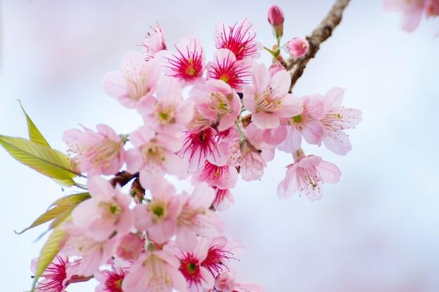 Fleurs de cerisiers en fleurs, fond de fleurs de sakura