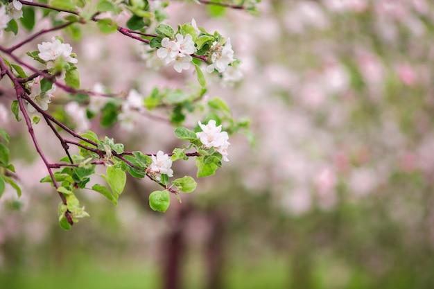 Fleurs de cerisiers en fleurs un jour de printemps