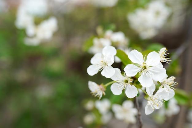 Fleurs des cerisiers en fleurs un jour de printemps