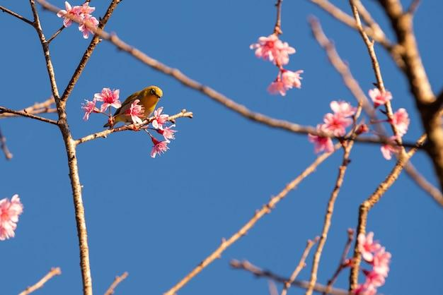 Fleurs de cerisiers en fleurs et oiseau jaune sur l'arbre avec un ciel bleu