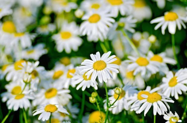 Fleurs de champ de camomille thérapeutique blanche sur le pré