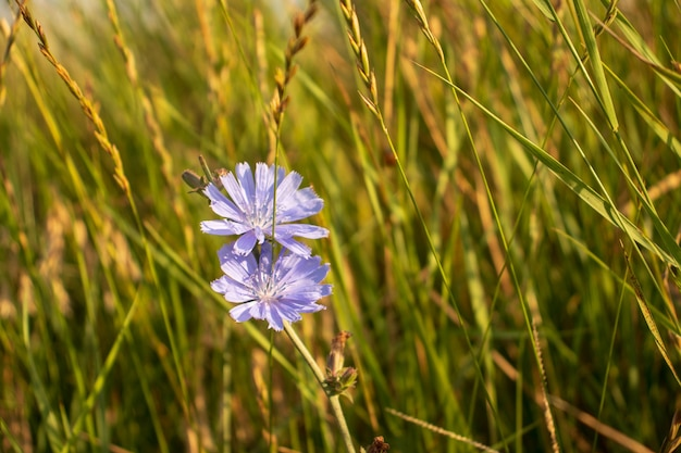 Fleurs de chicorée bleues, fleurs sauvages de chicorée sur le terrain. fleur bleue sur fond naturel. fleur de chicorée sauvage . cichorium intybus.