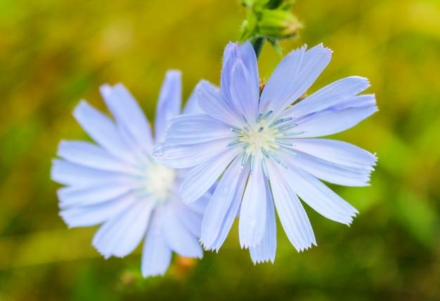 Fleurs de chicorée sur fond d'herbe verte