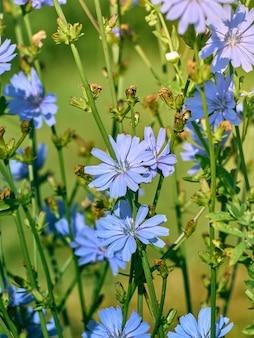 Fleurs de chicorée sur la prairie.