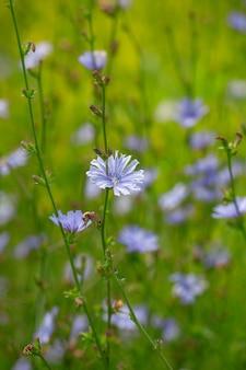 Fleurs de chicorée sur le pré