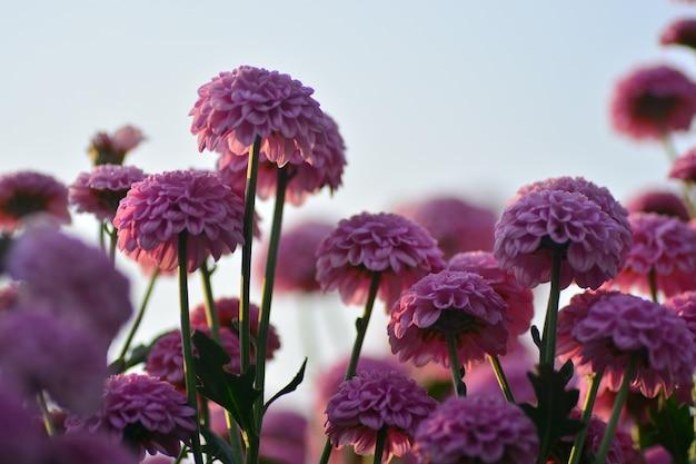 Fleurs de chrysanthème avec un arrière-plan flou