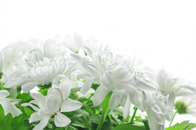 Fleurs de chrysanthème blanc isolés