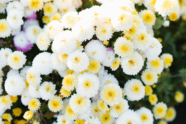 Fleurs de chrysanthème blanc et jaune dans le jardin