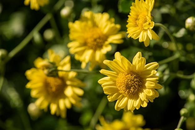 Fleurs de chrysanthème en fleurs