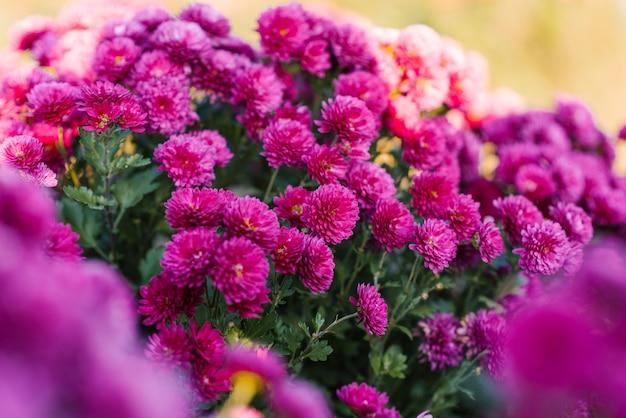 Fleurs de chrysanthème lumineuses violettes dans le jardin