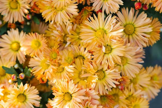 Fleurs de chrysanthème orange brillantes qui poussent dans le jardin par une journée ensoleillée