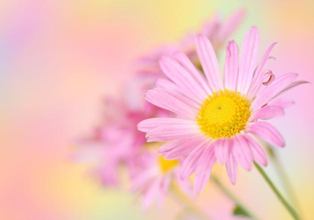 Fleurs de chrysanthème rose sur fond coloré