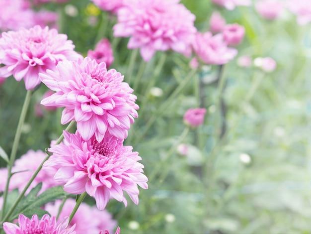 Fleurs de chrysanthème rose avec des gouttes d'eau