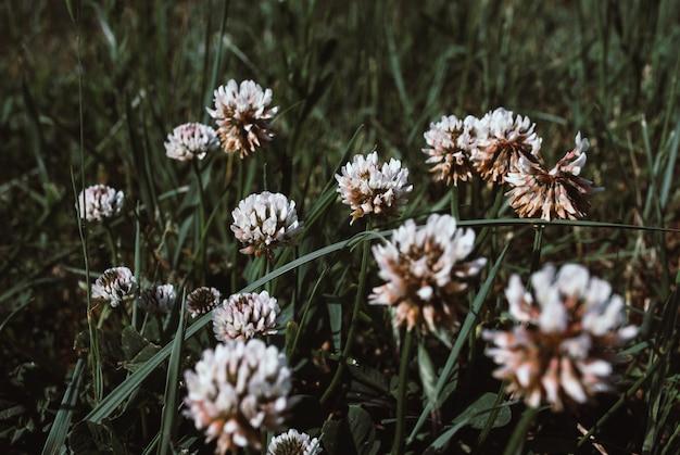 Fleurs de clower blanc trifolium repens dans une pelouse