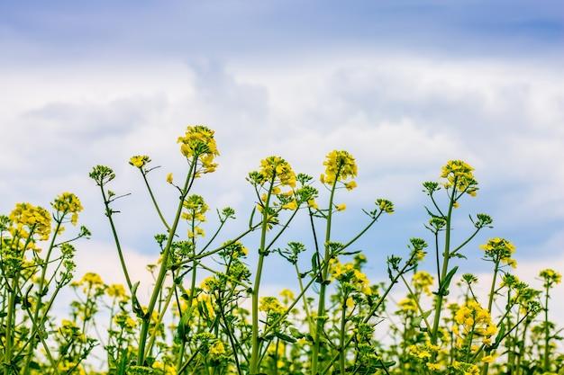 Fleurs de colza jaune contre un ciel bleu avec des nuages. culture du canola_