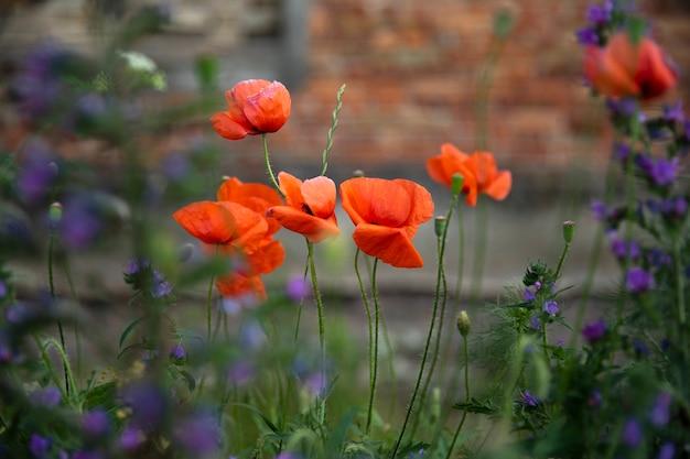 Fleurs les coquelicots rouges fleurissent sur un champ sauvage. beau champ de coquelicots rouges. flou de mise au point douce. image en gros plan.
