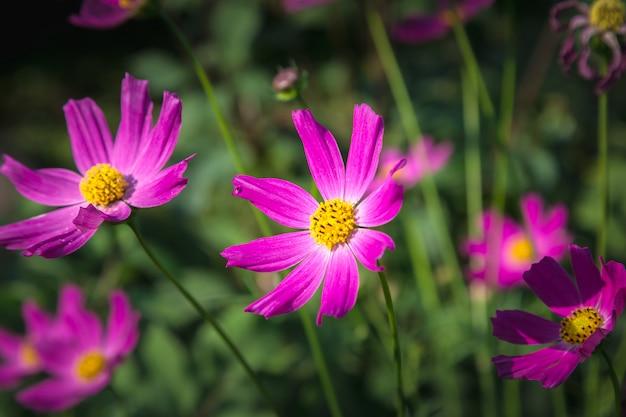 Fleurs de cosmea.