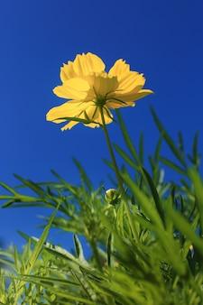 Fleurs de cosmos contre le ciel bleu.