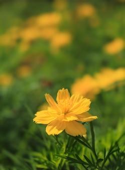 Fleurs de cosmos dans la nature.