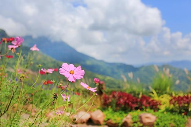 Fleurs de cosmos dans le paysage de fond et le champ de pré.