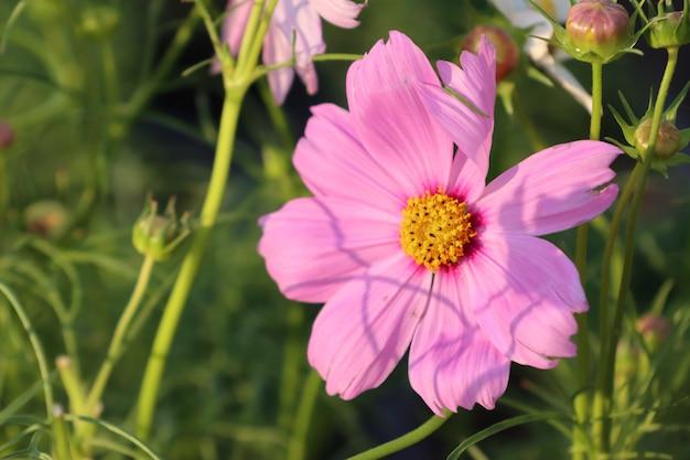 Fleurs de cosmos dans les tropiques