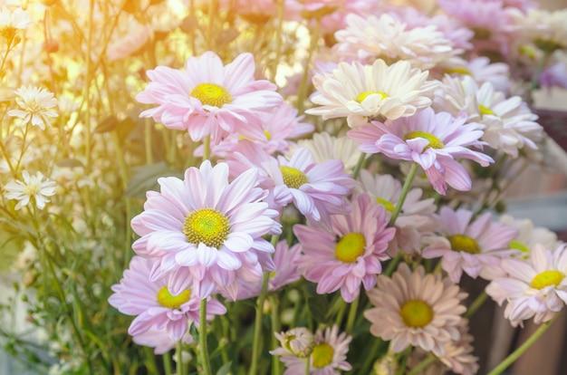 Fleurs de cosmos avec filtre adoucie