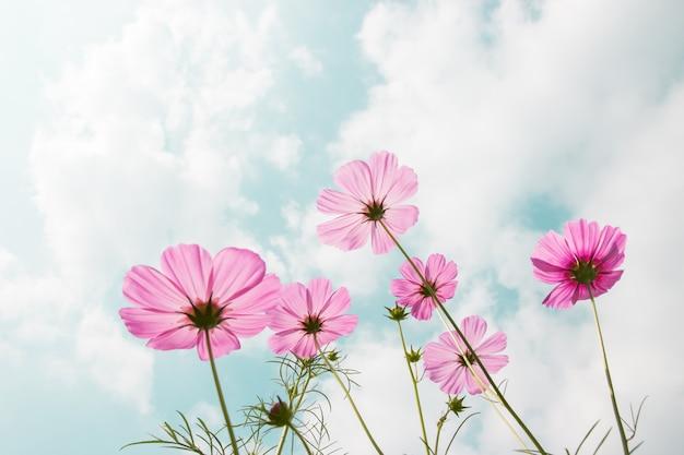 Fleurs de cosmos en fleurs dans le jardin avec ciel bleu et soleil.