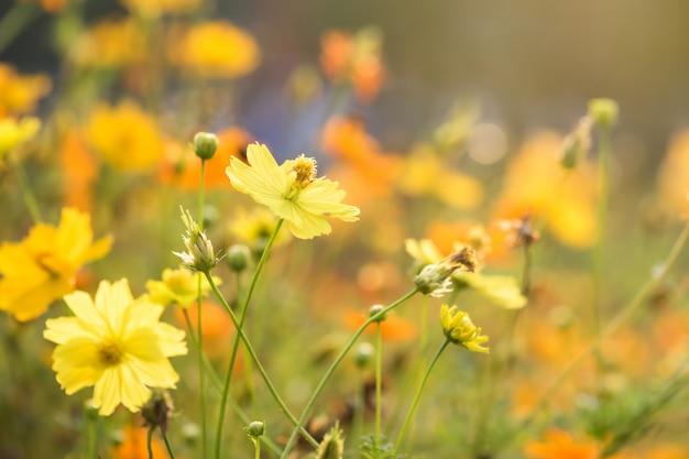 Fleurs de cosmos jaunes contre la lumière du lever du soleil