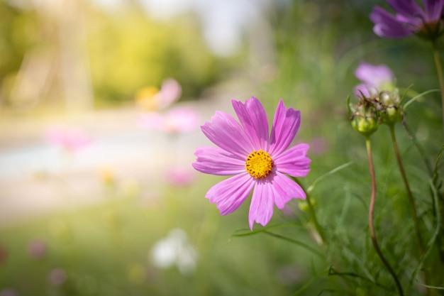 Fleurs de cosmos magnifiques au jardin