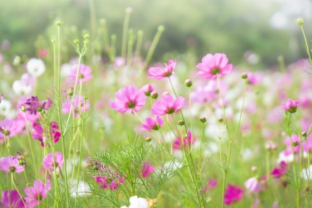 Fleurs de cosmos roses avec dans le champ naturel de cosmos. concept de fraîcheur et de fond.
