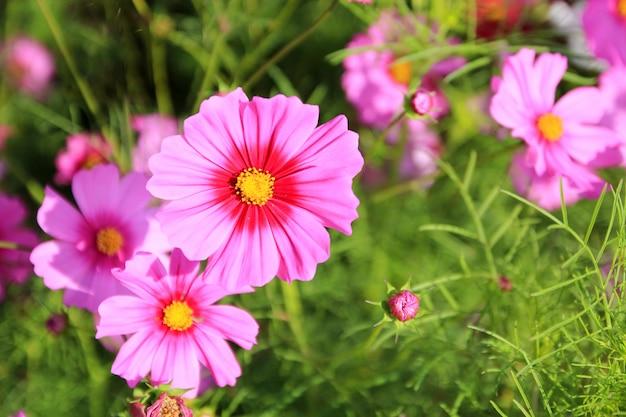 Fleurs cosmos roses sur la nature