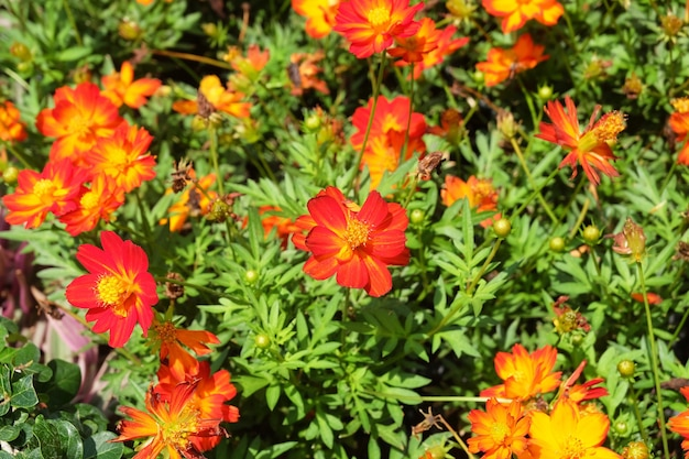 Fleurs de cosmos rouge et orange dans un jardin