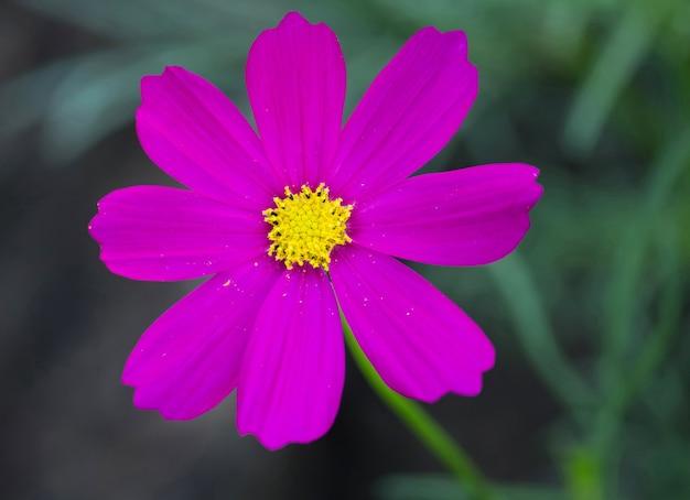 Fleurs cosmos