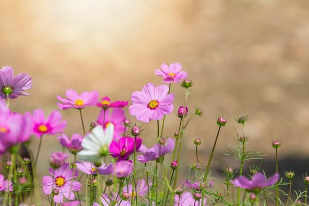 Fleurs de cosmos