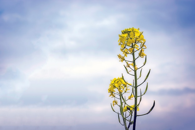 Fleurs et cosses de moutarde sur le champ, contre le ciel