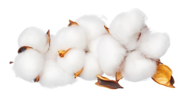 Fleurs de coton sur blanc