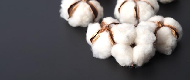 Fleurs de coton isolées sur fond noir studio tourné à plat angle de vue de dessus coton blanc flowe