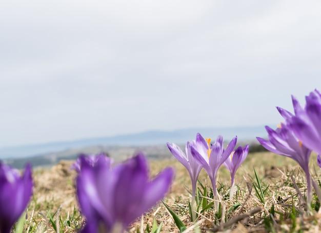 Fleurs de crocus alpins violets sauvages dans les montagnes