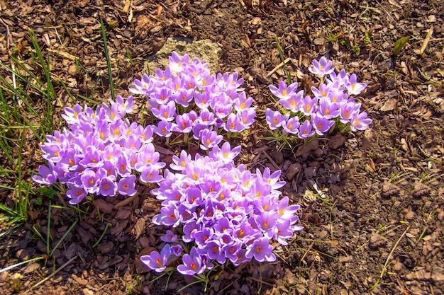 Les fleurs de crocus au safran pourpre fleurissent dans le jardin