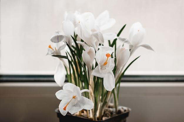 Fleurs de crocus blanc en fleur sur le rebord de la fenêtre avec un fond blanc