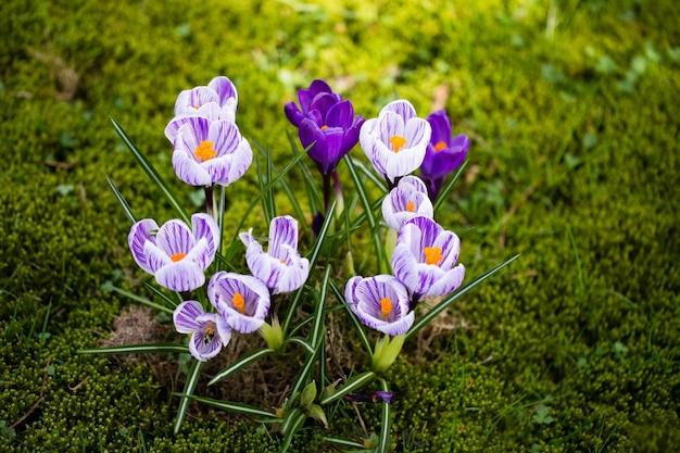 Fleurs de crocus. un groupe de crocus dans l'herbe.