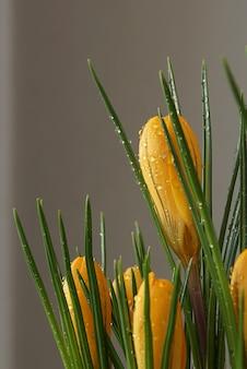 Fleurs de crocus jaune avec des gouttelettes d'eau sur fond gris.