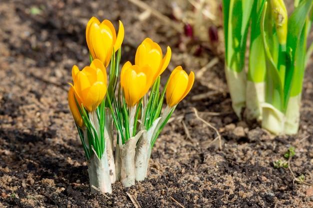 Fleurs de crocus jaunes