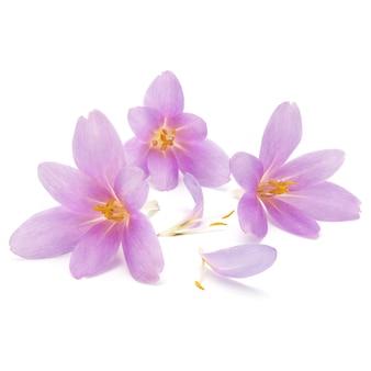 Fleurs de crocus lilas isolés sur fond blanc